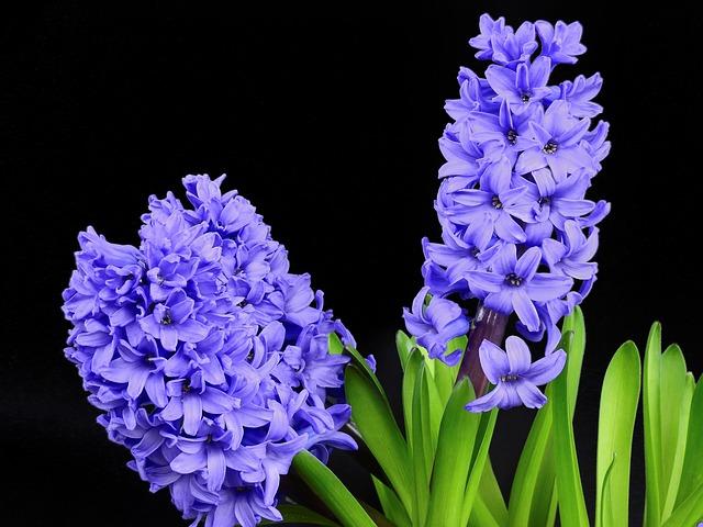 hyacinths flower